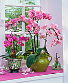 Phalaenopsis (Malay flower) at the window