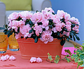 Rhododendron simsii (Azalea Stem)