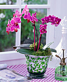 Phalaenopsis (Malay flower) in green-white planter