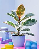 Ficus elastica 'Tineke' (rubber tree)