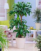 Dracaena fragrans 'Massangeana' (Dragon Tree)