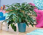 Philodendron 'Xanadu' (Tree Friend)
