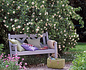 White wooden bench under Rosa alba 'Maxima' (shrub rose)