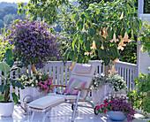 Datura syn. Brugmansia (angel trumpet), Solanum rantonetti
