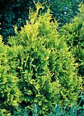 Thuja occidentalis 'Sunkist' (Tree of Life)