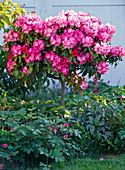 Rhododendron yakushimanum (Alpenrose)