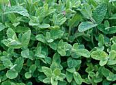 Mentha suaveolens 'Variegata' (pineapple-mint)