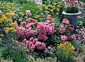 Rose 'Bad Birnbach', often flowering, strong pink