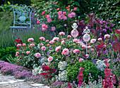 Rose 'Botticelli' (small shrub rose), very healthy