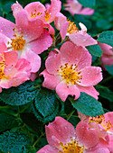 Rose 'Candy Rose' (shrub rose), often flowering, faint scent