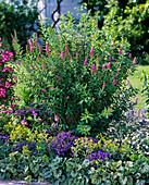 Spiraea X billardii 'Triumphans' (rose meadowsweet)