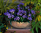 Gentiana (autumn gentian) in terracotta bowl