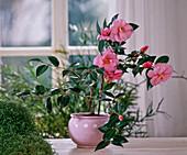 Camellia hybrid 'Barbara Clark' (Camellia), Solerolia