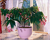Begonia 'Tamaya' in pink planter