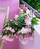Begonia tuberhybrida in hanging pot on the balcony railing