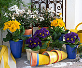 Primroses yellow + blue, Soleirolia, Asparagus