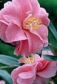 Camellia japonica 'Dazle'
