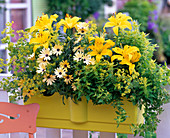 Lilium 'Lemon Pixie' (Lily), Osteospermum 'Lemon Symphony'