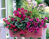 Petunia 'Purple Vein' (Petunia), Verbena Flamenco 'Dark Red'