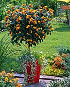 Lantana planted with Glechoma