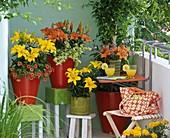 Lilium asiaticus 'Orange Pixie', 'Yellow Pixie' (Lily)