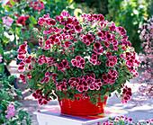Pelargonium grandiflorum Aristo 'Beauty'