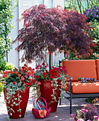 Acer palmatum 'Dissectum Garnet' (red-leaved Japanese maple)