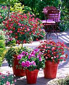 Argyranthemum frutescens 'Bright Carmine'