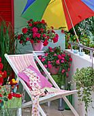 Rose 'gardener's delight' 'Knirps' (small shrub roses) by Kordes