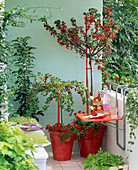 Snack balcony with ribes (red currant, gooseberry)
