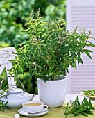 Tea herb, Aloysia triphylla (lemon verbena)
