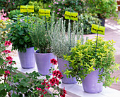 Herbs in purple planters lined with name tags