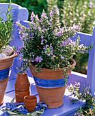 Rosmarinus officinalis (rosemary) flowering
