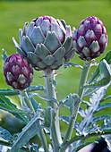 Cynara scolymus (Artichoke)