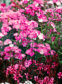 Dianthus barbatus interspecific Amazon 'Pink Magic' (carnation)