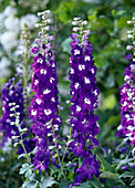Delphinium hybrid 'Excalibur' (Delphinium) dark blue