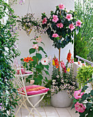 Hibiscus rosa-sinensis (rosemary) underplanted