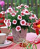 Dianthus chinensis 'corona cherry magic' (Chinese carnation)