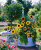 Helianthus (Sonnenblumen), Tagetes (Studentenblumen)