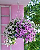 Petunia Calimero 'Pink Vein', 'White Improved' (Petunia)