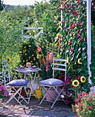 Screen, Ipomoea tricolor (Morning Glory), Thunbergia alata