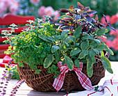 Herbs in the basket, Salvia officinalis 'Icterina', Petroselinum