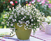 Bacopa Copa 'Big White' Compact