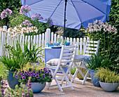 Blau - weiße Terrasse : Agapanthus (Afrikanische Schmucklilien)
