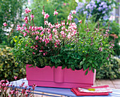 Herbs and perennial in the pink water storage box