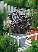Ocimum basilicum Baristo 'Rosso' (red-leaved basil)