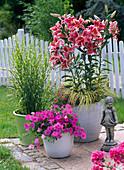 Lilium 'Stargazer' (Lilien), unterpflanzt mit Acorus 'Ogon'