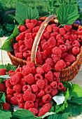 Freshly picked raspberries (Rubus)