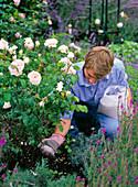 Young man fertilizes Rosa 'Sharifa Asma' (English rose)