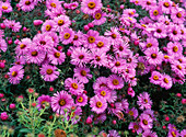 Aster novae-angliae 'Barr's pink' (Rough leaf aster)